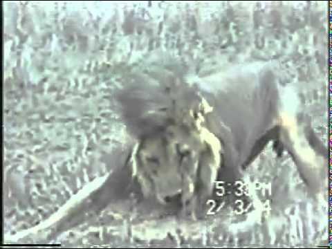 Lion dying اسد يحتضر